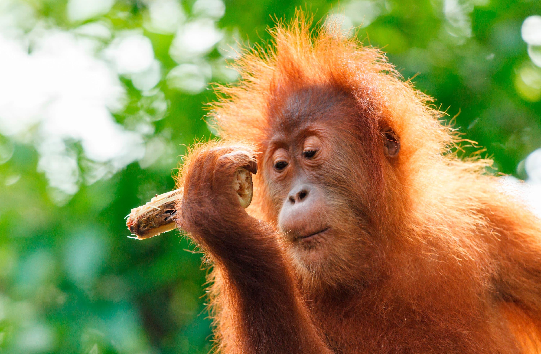 Viaje organizado a Borneo, Java, Sulawesi, Komodo y Bali
